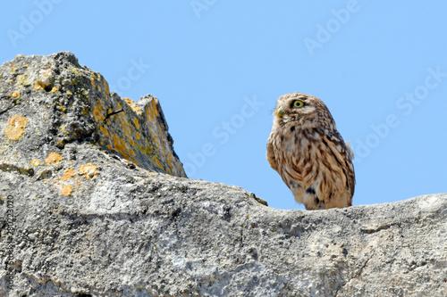 Canvas Prints Owl Steinkauz (Athene noctua) - Little owl