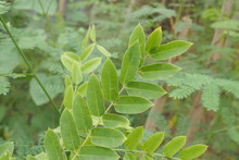 Close-up Green Leaves On Branc...