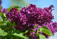 Syringa Vulgaris (lilac Or Com...