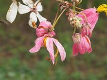 Beautiful Pink Flower Brazilia...