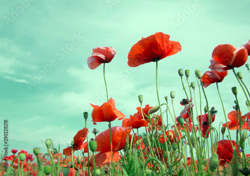 Tuinposter Poppy closeup of red poppy on cereal field