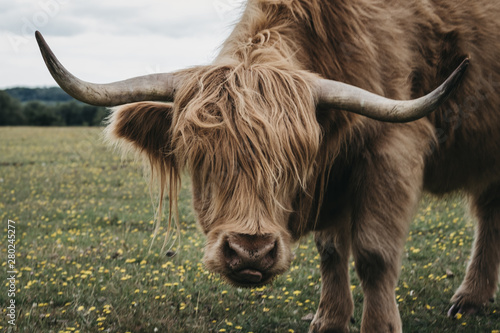 Fototapety, obrazy: Highland Cattle in The New Forest park in Dorset,UK, looking at the camera.