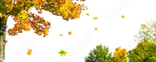 ahornbaum und blätter auf weiß