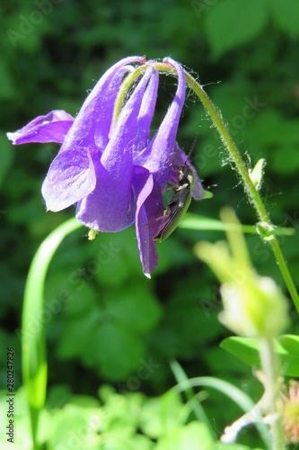 Photo Blue aquilegia flower