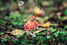 Close-up Of Two Beautiful Golden Rings Lie On A Hat Of A Red Spotted Mushroom On A Blurred Forest Background, Selective Focus
