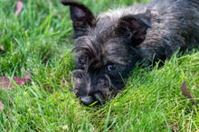 Black Scottie Terrior Puppy Do...