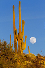 Golden Glow Of Saguaro Cactus With Full Moon Rising
