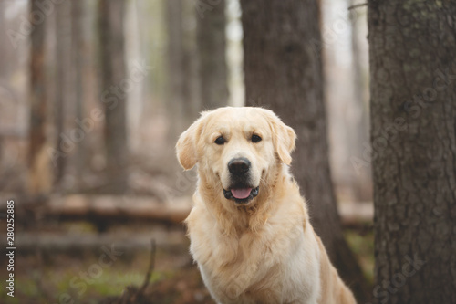 Foto  Beautiful and free dog breed golden retriever sitting outdoors in the forest at