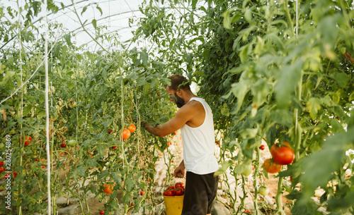 Obraz na plátně  Farmer picking tomato in greenhouse