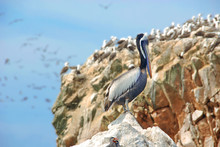 Aquatic Birds At Paracas National Reservation, Or The Peruvian Galapagos. At The Reserve There Are The Islas Ballestas, Islands Which Are Off Limits To People, But Boat Tours Can Get Close