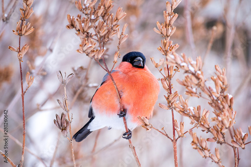 Canvastavla winter bird bullfinch on tree branches feeds on tree seeds