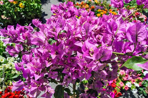 Fotografia Pink Bougainvillea flowers