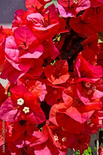 Valokuva Red  Bougainvillea flowers
