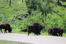 Bison In Custer State Park In South Dakota