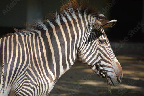 Fototapety, obrazy: Burchell's zebra is a southern subspecies of the plains zebra. It is named after the British explorer William John Burchell. Common names include bontequagga, Damara zebra and Zululand zebra