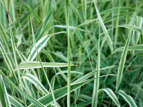 Obraz na plátně  CAREX foliosissima 'Silver Sceptre', Sedge leafy, green grass.