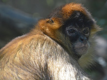 Geoffroy Spider Monkey Or Black-handed Spider Monkey Is A Species Of Spider Monkey, A Type Of New World Monkey, From Central America, Parts Of Mexico And Possibly A Small Portion Of Colombia