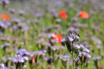 Kwitnąca łąka i pszczoła zbierająca nektar.