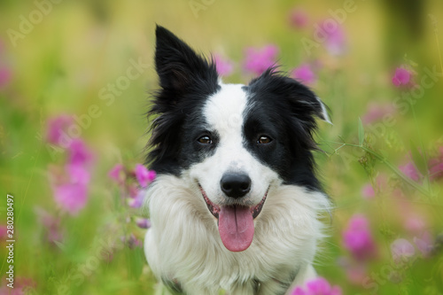 Fotografía Border collie dog sitting in sweet pea flowers
