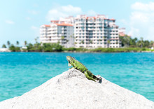 Miami Beach Iguana
