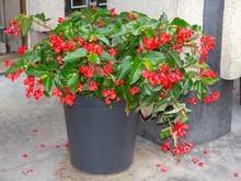 Dragon Wing Begonia Big Plant ...