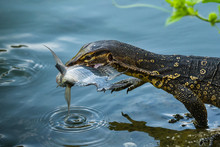 Monitor Lizard By A Pond With A Fish In Its Mouth, Indonesia