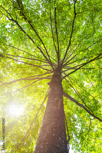 Green concept. Top tree with green Leaves shot from below and sun light. - 280295247
