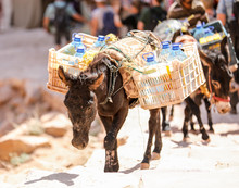Donkey Carrying Packs Of Water Up The Trail In Petra, Jordan.