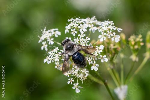 Photo Ashy mining bee (Andrena cineraria)