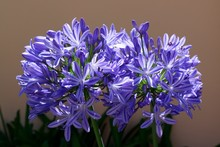 Closeup Of Purple Agapanthus Flowers With Blurred Background