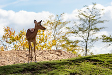 A Deer Atop A Hill In Animal P...