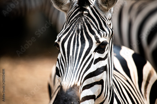 Poster Zebra Closeup potrait beautiful Zeabra looking at the camera isolated on blur background.