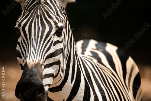 Poster Zebra Closeup potrait beautiful Zebra looking at the camera isolated on blur background.