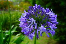 View Of A Purple Lily Of The Nile (Agapanthus) Flower