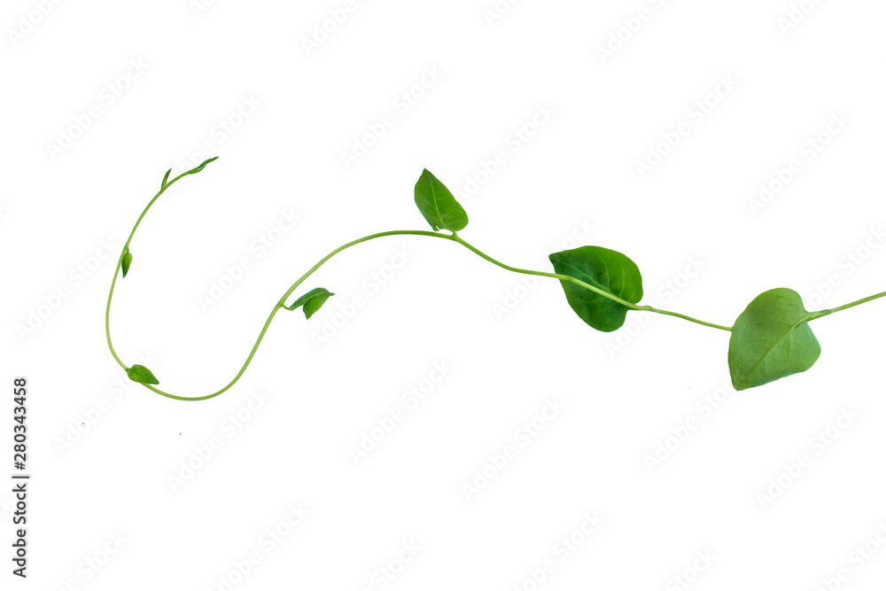Fototapety, obrazy: Twisted jungle vines liana plant with heart shaped green leaves isolated on white background, clipping path included.