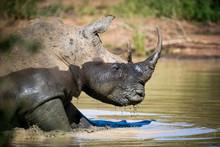 White Rhino Bull Wallowing In ...