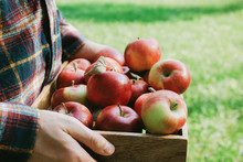 Man In Plaid Shirt Holding Wooden Box With Organic Ripe Red Apples, Selective Focus