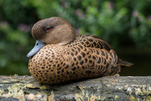 Portrait Of A Female Mallard D...