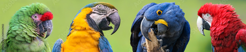 Fototapety, obrazy: Colorful group of Macaws - 4 species