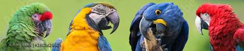 Poster Papegaai Colorful group of Macaws - 4 species