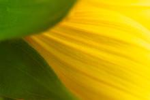 Detail Of Sunflower Petals Tex...
