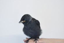 Young Jackdaw Isolated Against White Background