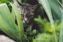 Tabby Cat Hiding In The Grass In The Summer. Cat Lying In A Green Grass On A Summer Meadow. Beautiful Cat Portrait On Nature Background