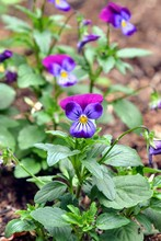 Viola Tricolor Flowers (also Known As Johnny Jump Up, Heartsease, Heart's Ease, Heart's Delight, Tickle-my-fancy, Jack-jump-up-and-kiss-me, Come-and-cuddle-me, Three Faces In A Hood, Ove-in-idleness)