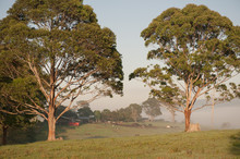 Two Gumtrees
