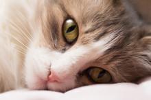 Sad Gray Cat Face Close Up.