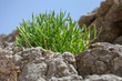 canvas print picture -  Succulent plant on a rock in Spain