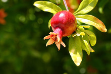 Fruit Pomegranate Ripening Hanging On A Tree Branch With Leaves