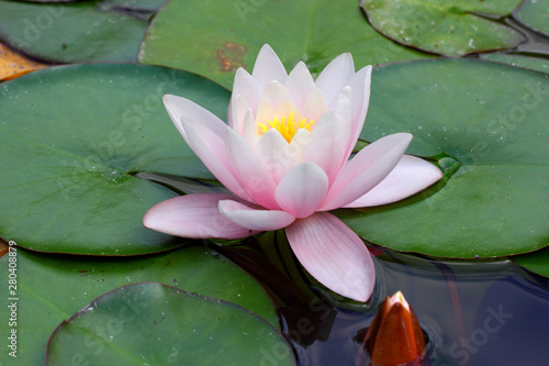 Canvas Prints Water lilies Lily Bud flower and leaves on the water