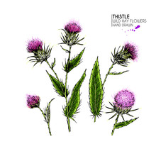 Hand Drawn Wild Hay Flower. Milk Marian Thistle. Medical Herb. Colored Engraved Art. Botanical Illustration. For Cosmetics, Medicine, Treating, Aromatherapy, Nursing, Package Design Field Bouquet